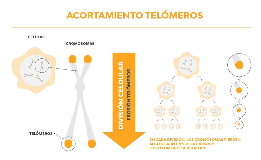 telomeros y antienvejecimiento celular
